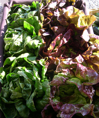 Matt's butterhead lettuces. I give him all the credit for these beautful greens!