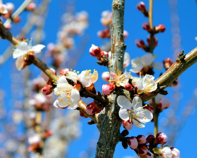 ApricotBlossoms_1