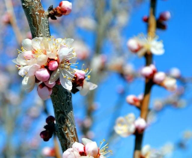 ApricotBlossoms_2