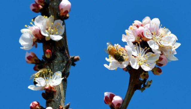 BeesOnApricotBlossoms
