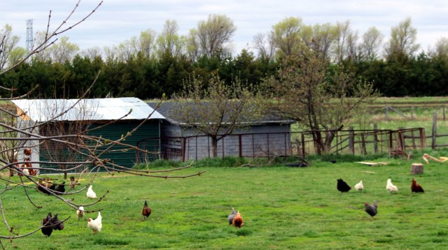Chickens_FirstDayOut